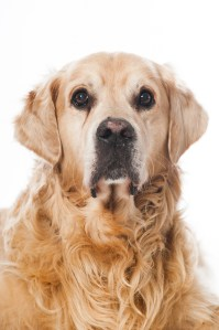 Odie der Golden Retriever